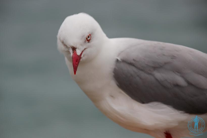 otago-peninsula-albatros-3