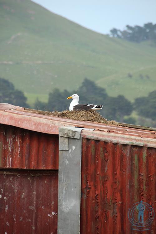 otago-peninsula-albatros-4