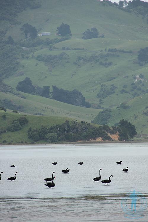 otago-peninsula-cisnes